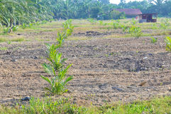 Replanting  palm oil tree Royalty Free Stock Photos