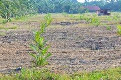 Replanting  palm oil tree Stock Photos