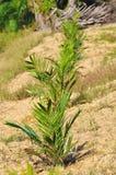 Replanting  palm oil tree Stock Photo