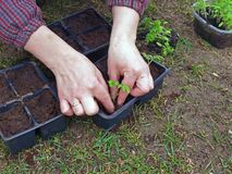 Replanting seedlings Stock Image