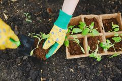 Replanting tomatoes Royalty Free Stock Photography