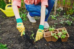 Replanting tomatoes in soil Stock Images