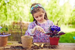 Replanting violets Royalty Free Stock Image