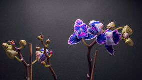 Replay Time lapse of purple Orchid flower blooming on dark grey background.