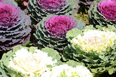 Repolho decorativo Foto de Stock Royalty Free