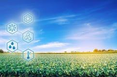 Repolho no campo De alta tecnologia e inovações na agroindústria Qualidade do estudo do solo e da colheita Trabalho científico e fotos de stock royalty free