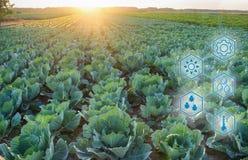 Repolho no campo De alta tecnologia e inovações na agroindústria Qualidade do estudo do solo e da colheita Trabalho científico e fotos de stock