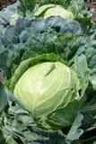 Repolho no jardim vegetal Fotos de Stock Royalty Free