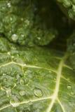 Repolho verde Imagens de Stock Royalty Free