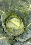 Repolho verde fresco foto de stock