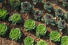 Repolhos verdes geomètrica plantados fotografia de stock