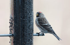 Redpoll Stock Photos