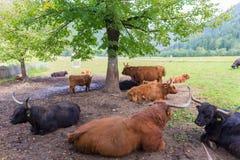 Repos écossais d'une chevelure rouge entendu parler de vaches à montagnard Image libre de droits