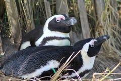 Repos aux pieds noir de pingouin Photos libres de droits