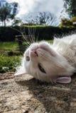 Repos blanc de chat Images stock