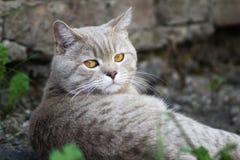 Repos britannique de chat photo libre de droits