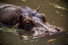 Repos d'hippopotame dans une eau Photo stock