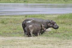 Repos d'hippopotames Photos libres de droits