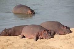 Repos d'hippopotames Photo libre de droits