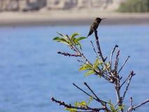Repos d'oiseau de ronflement Images libres de droits