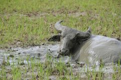 Repos de Buffalo se couchant dans la boue Images libres de droits
