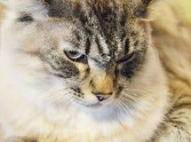 Repos de chat observé par bleu Photos libres de droits