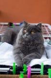 Repos de chat persan Photo stock