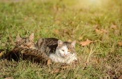 Repos de chats dans l'herbe Images stock