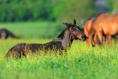 Repos de cheval sur le pâturage photographie stock libre de droits