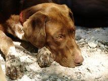 Repos de chien Photographie stock