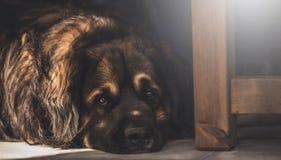 Repos de chien Images stock