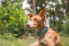 Repos de chien Image libre de droits