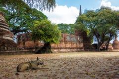 Repos de chien aux ruines de temple de la Thaïlande Photos stock