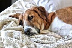 Repos de chien de léopard de Catahoula sur le lit Photos stock