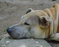 Repos de chien par le menton mis sur la pierre Photographie stock libre de droits