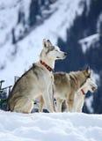Repos de chiens de chien de traîneau sibérien Photos stock