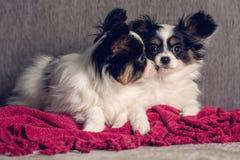 Repos de deux chiots sur le divan Photographie stock