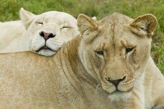 Repos de deux lionnes Image stock
