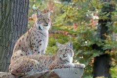 Repos de deux lynx Photo libre de droits
