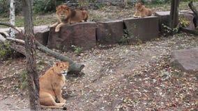 Repos de famille de lions banque de vidéos