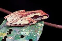 Repos de grenouille Photos libres de droits
