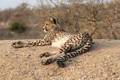Repos de guépard Photo libre de droits