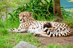 Repos de guépard Photos stock