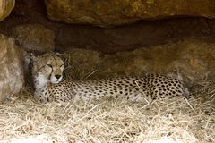 repos de guépard Image libre de droits