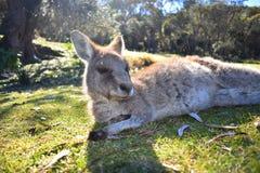 Repos de kangourou Photographie stock libre de droits