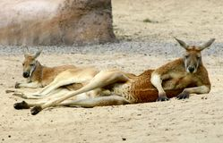 Repos de kangourous Image libre de droits