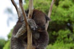 repos de koala Photographie stock libre de droits