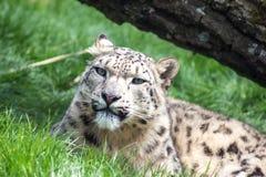 Repos de léopard de neige, regardant l'appareil-photo Images stock