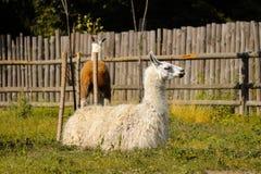 Repos de lama au zoo photographie stock libre de droits
