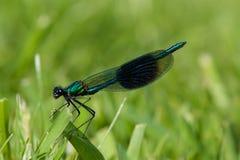 Repos de libellule de demoiselle réuni par mâle Photo stock
